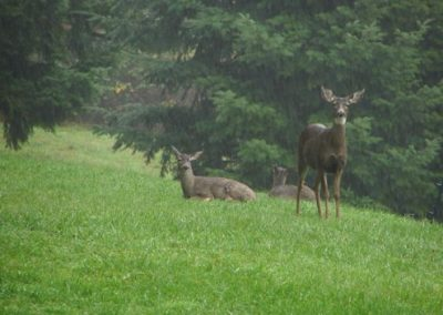 Doe with her yearlings in the rain